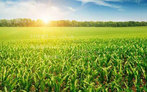 预计:今年玉米种植面积比上年减少1000多万亩