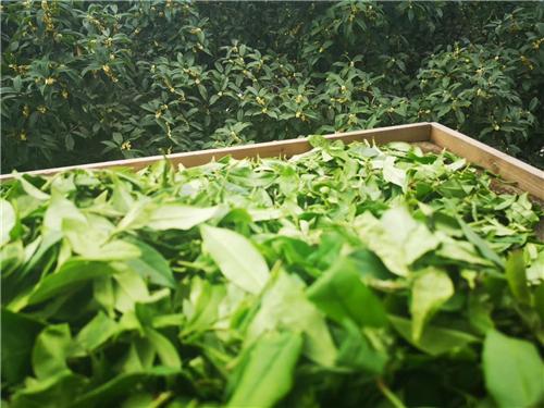 安徽省六大舉措大力推進蠶桑產業提質增效