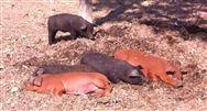 生猪生产持续恢复,这两个省份财政支持措施值得一看