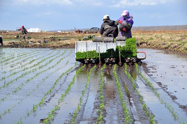 大型水稻机插秧作业直播