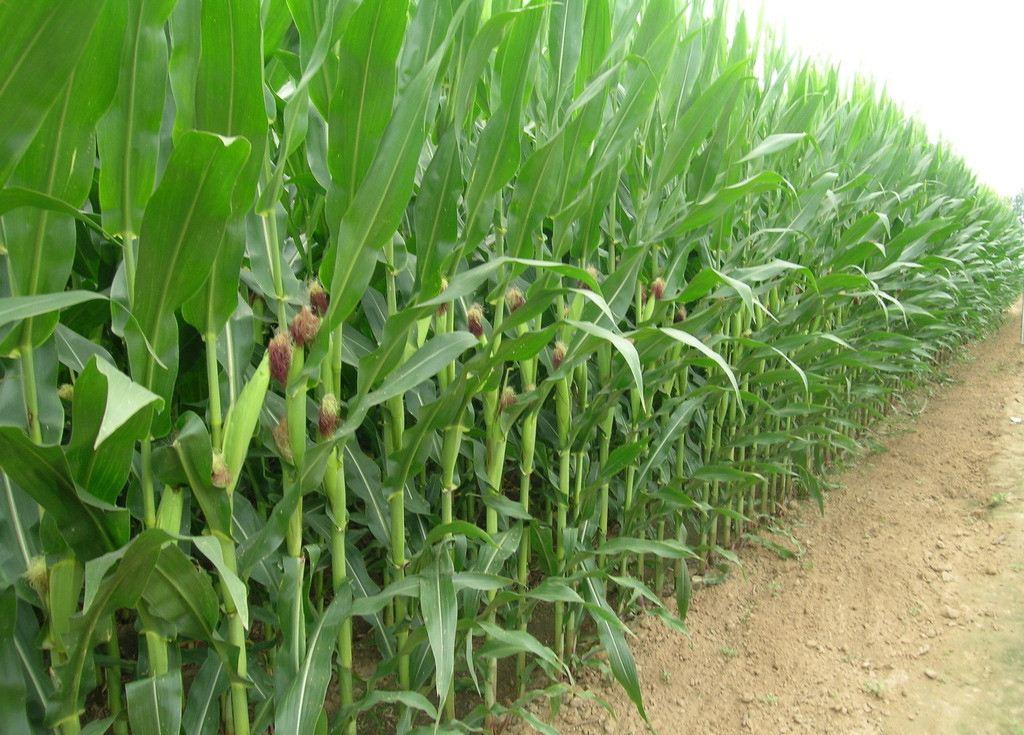 玉米种植结构